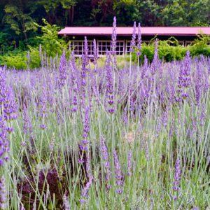 もうすぐ咲く!土岐市ラベンダー畑のおすすめ場所と言えば、鶴里町のみくに茶屋さんの所だよね。