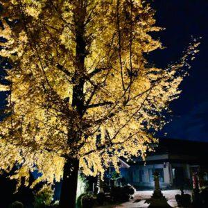 【道路から光るイチョウの木が見えたから】瑞浪市山田町・智勝山 長見寺さんのイチョウの木のライトアップを偶然にも拝見することができました。