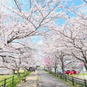 【2021年はライトアップ中止】瑞浪市の桜並木・夜桜のお花見スポット|約500メートル続く薄紅色の桜散歩道。土岐川堤にある「さくらさくらのさんぽみち」は昼間の桜並木も素敵ですよ。