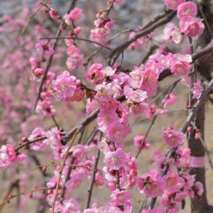 今週末がしだれ梅が満開かな?土岐津町高山にある、高山梅園をご存知ですか?拓けた高台にある眺めも素敵な場所です。