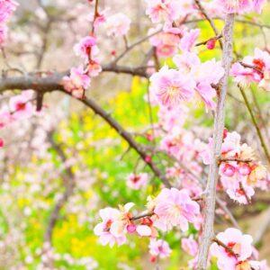 しだれ梅が見ごろ♪はなももは3月下旬が見ごろ。 3月27日~4月4日はライトアップも予定。土岐津高山・高山梅園のシダレウメが咲いています。今年は菜の花とのコラボレーション。薄紅色と黄緑色、そして青空色の原色の世界。
