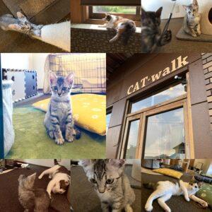 瑞浪市南小田町にある猫カフェ CAT・walk さんに行ってきました。どの猫も愛想が良くって人懐っこい♪ 生後2か月の小さな猫も居ました。